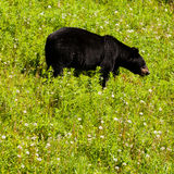American Black Bear forage grassy meadow Stock Photo