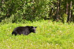 American Black Bear forage lush meadow Royalty Free Stock Image