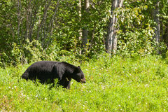 American Black Bear forage meadow greens Royalty Free Stock Photography