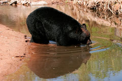 American black bear going into the water Stock Image