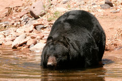 American black bear going into the water Royalty Free Stock Photos