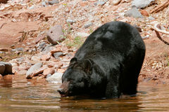 American black bear going into the water Stock Images