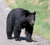 American Black Bear Royalty Free Stock Photography