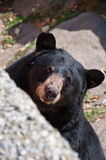 American Black Bear, North Carolina, USA Royalty Free Stock Images