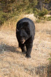 American Black Bear in Northern woods Stock Photos