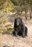 American Black Bear in Northern woods Royalty Free Stock Photo