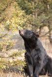 American Black Bear in Northern woods Stock Image