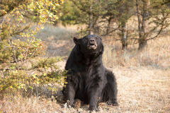 American Black Bear in Northern woods Royalty Free Stock Image