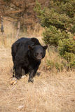 American Black Bear in Northern woods Stock Photo