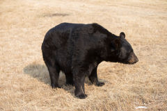 American Black Bear in Northern woods Stock Photography