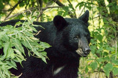 American  Black Bear peeks out from bush Stock Image