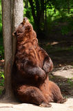 American Black Bear Rubbing His Back Stock Photos