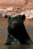 American black bear sitting in a river Stock Image