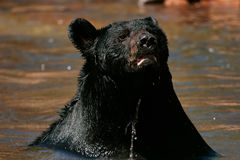 American black bear sitting in a river Royalty Free Stock Image