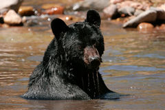 American black bear sitting in a river Stock Photos