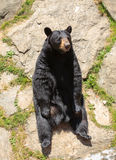 American Black Bear Sitting on Rock - NC Stock Photos