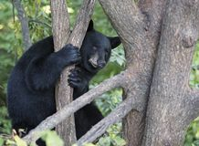 American black bear Royalty Free Stock Image
