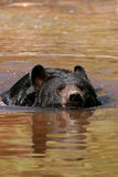 American black bear swimming in the water Stock Images