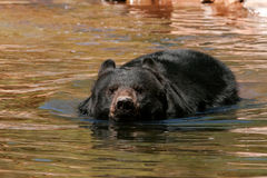 American black bear swimming in the water Stock Photography