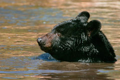 American black bear swimming in the water Stock Photo