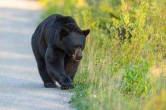 Free American Black Bear Ursus Americanus Stock Photos - 81600073