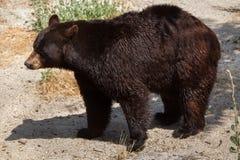 American black bear Ursus americanus Royalty Free Stock Images