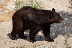 American black bear Ursus americanus Stock Images