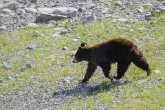 American Black Bear (Ursus americanus) Royalty Free Stock Images