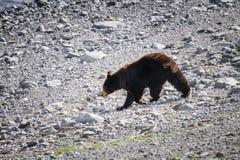 American Black Bear (Ursus americanus). Brown Coloured Black Bear on a rocky lake shore Royalty Free Stock Photo