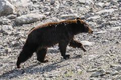 American Black Bear (Ursus americanus) Stock Photography