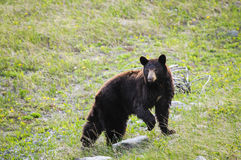American Black Bear (Ursus americanus) Royalty Free Stock Photography