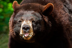 American black bear (Ursus americanus) feeding on fruits, Quebec, Canada Royalty Free Stock Images