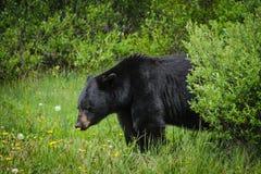American Black Bear (Ursus americanus) Stock Image