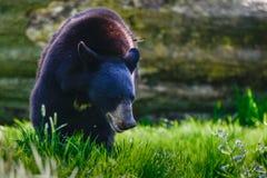 American Black Bear Ursus Americanus in forest clearing landscap. American Black Bear Ursus Americanus in lush forest landscape setting Royalty Free Stock Photos