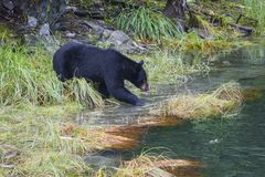 The American black bear Ursus americanus is a medium-sized bear native to North America. Searching for food in small stock photo