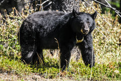 American Black Bear (Ursus americanus) Stock Photos