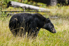 American Black Bear (Ursus americanus) Royalty Free Stock Photography