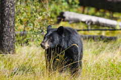 American Black Bear (Ursus americanus) Stock Photo