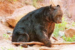 American black bear (Ursus americanus) Royalty Free Stock Images