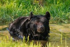 American black bear (Ursus americanus) Royalty Free Stock Photo