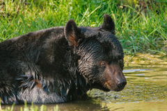 American black bear (Ursus americanus) Royalty Free Stock Photo