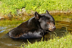 American black bear (Ursus americanus) Royalty Free Stock Photos