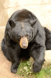 American black bear, Royalty Free Stock Images