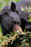 American Black Bear (Ursus americanus) Royalty Free Stock Image