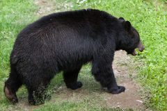 American black bear (Ursus americanus). Royalty Free Stock Photo