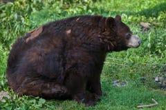 American black bear Ursus americanus. Stock Photos