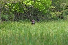 American Black Bear walking in the meadow in Great Smoky Mountains National Park,This is the famous place in Tennessee USA. American Black Bear walking in the royalty free stock photography