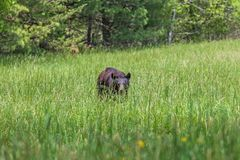 American Black Bear walking in the meadow in Great Smoky Mountains National Park,This is the famous place in Tennessee USA. American Black Bear walking in the stock photo