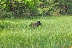 American Black Bear walking in the meadow in Great Smoky Mountains National Park,This is the famous place in Tennessee USA. American Black Bear walking in the stock photography
