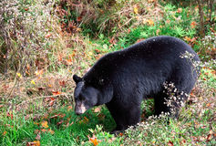 American Black Bear Walking Through Shrubs Royalty Free Stock Images